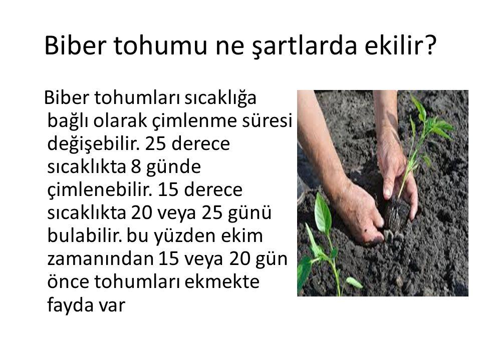 Biber tohumu ne şartlarda ekilir? Biber tohumları sıcaklığa bağlı olarak çimlenme süresi değişebilir. 25 derece sıcaklıkta 8 günde çimlenebilir. 15 de