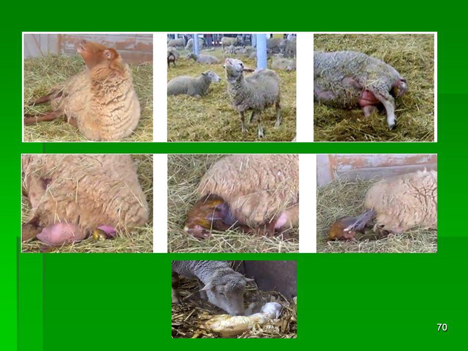Kuzu Büyütme Kuzularda Yaşama Gücünün Yükseltilmesi ( Kuzu ölümlerinin % 50-70'i ilk 3-5 gün arasında olurken, bu oran ilk bir aylık dönemde % 80-90'a ulaşmaktadır.) - Ağız sütünün mutlaka verilmesi - Ağız sütünün mutlaka verilmesi - Doğum ağırlığını artırıcı çalışmalar (gebeliğin son 45- 50 gününde koyunlara ek yem verilmesi 0.5-1kg) - Doğum ağırlığını artırıcı çalışmalar (gebeliğin son 45- 50 gününde koyunlara ek yem verilmesi 0.5-1kg) - Analık kabiliyeti kötü hayvanların ayıklanması - Analık kabiliyeti kötü hayvanların ayıklanması - Doğumların ve emzirmenin takibi ( sürü anaç koyunların % 10'u kadar doğum bölmesi tahsisi), sütten kesime kadar olan dönemde daha itinalı bakım-besleme - Doğumların ve emzirmenin takibi ( sürü anaç koyunların % 10'u kadar doğum bölmesi tahsisi), sütten kesime kadar olan dönemde daha itinalı bakım-besleme - Kuzu yakma yöntemlerinin bilinmesi - Kuzu yakma yöntemlerinin bilinmesi 71
