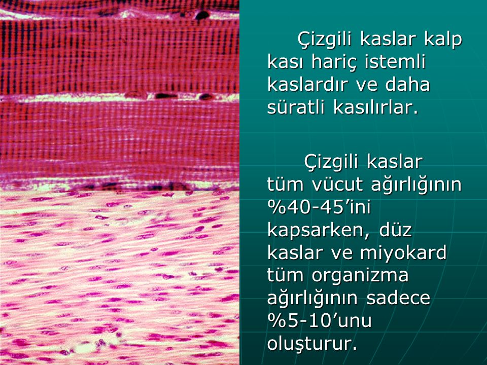 Kas hücresi diğer hücrelerden farklı olarak uzun iğ şeklindedir ve fibril adını alır.