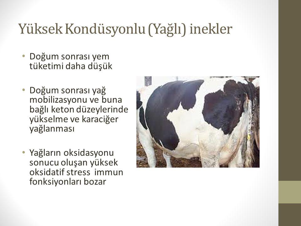Yüksek Kondüsyonlu (Yağlı) inekler Doğum sonrası yem tüketimi daha düşük Doğum sonrası yağ mobilizasyonu ve buna bağlı keton düzeylerinde yükselme ve