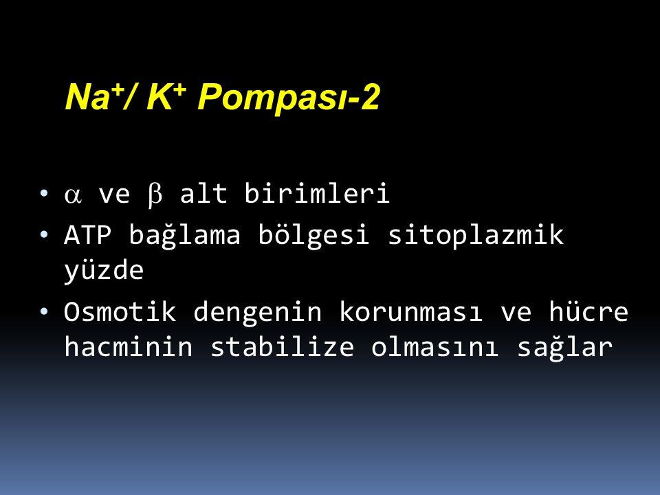 Na + / K + Pompası-2  ve  alt birimleri ATP bağlama bölgesi sitoplazmik yüzde Osmotik dengenin korunması ve hücre hacminin stabilize olmasını sağlar