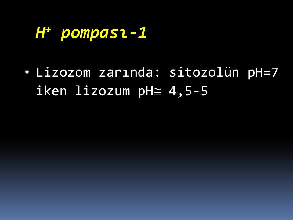 H + pompası-1 Lizozom zarında: sitozolün pH=7 iken lizozum pH 4,5-5