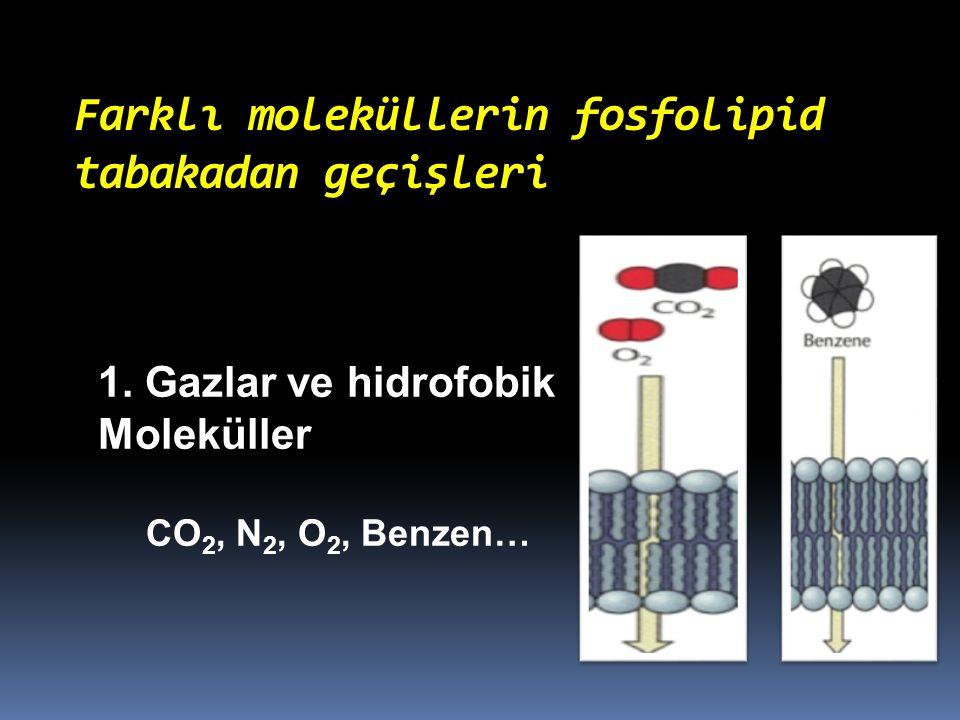 Farklı moleküllerin fosfolipid tabakadan geçişleri 1. Gazlar ve hidrofobik Moleküller CO 2, N 2, O 2, Benzen…