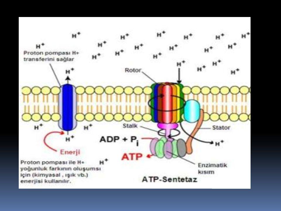 Na + iyon gradientiyle Ca +2,H + ve glikoz taşınımı Eritrosidlerde klorid bikarbonat taşınımı 2.cil Aktif taşınım (İyon gradienti ile)
