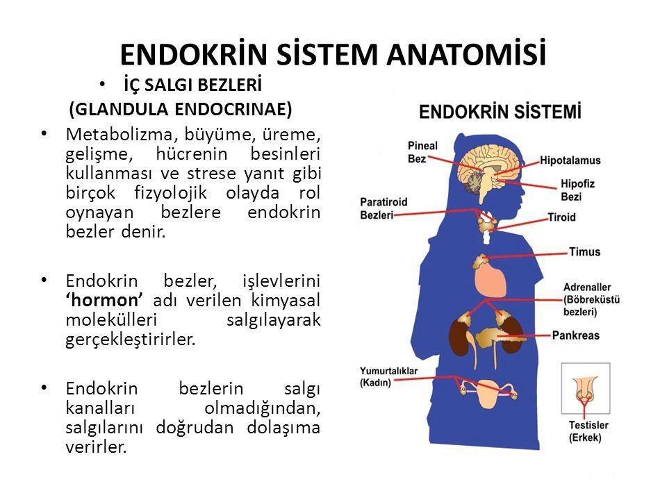 ENDOKRİN SİSTEM ANATOMİSİ İÇ SALGI BEZLERİ (GLANDULA ENDOCRINAE) Metabolizma, büyüme, üreme, gelişme, hücrenin besinleri kullanması ve strese yanıt gi