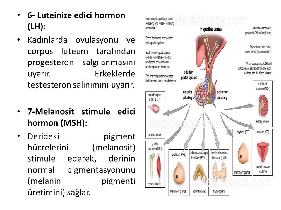 6- Luteinize edici hormon (LH): Kadınlarda ovulasyonu ve corpus luteum tarafından progesteron salgılanmasını uyarır. Erkeklerde testesteron salınımını