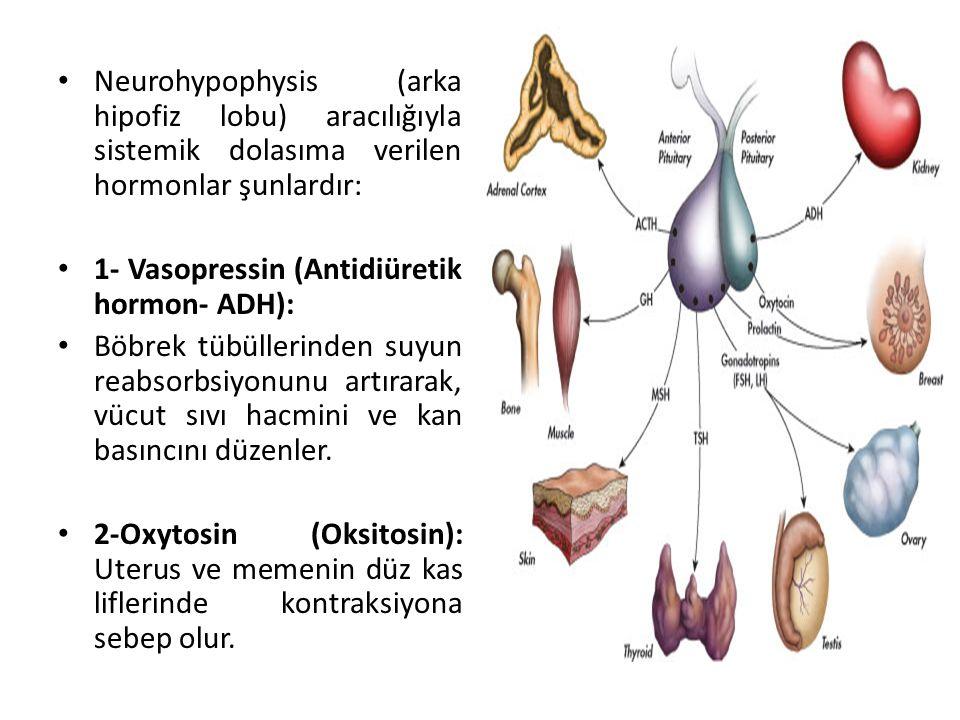 Neurohypophysis (arka hipofiz lobu) aracılığıyla sistemik dolasıma verilen hormonlar şunlardır: 1- Vasopressin (Antidiüretik hormon- ADH): Böbrek tübü
