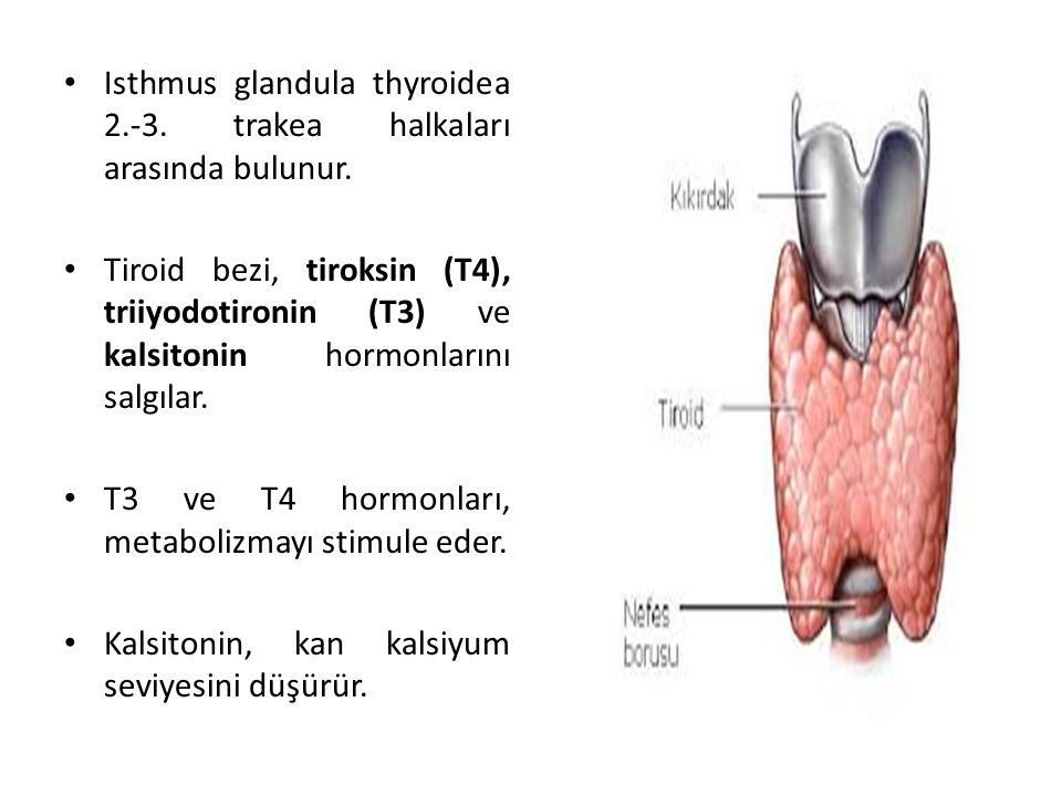 Isthmus glandula thyroidea 2.-3. trakea halkaları arasında bulunur. Tiroid bezi, tiroksin (T4), triiyodotironin (T3) ve kalsitonin hormonlarını salgıl