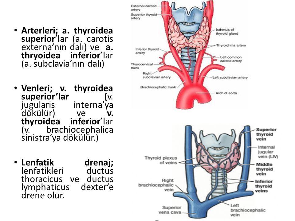 Arterleri; a. thyroidea superior'lar (a. carotis externa'nın dalı) ve a. thryoidea inferior'lar (a. subclavia'nın dalı) Venleri; v. thyroidea superior