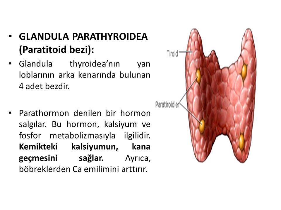 GLANDULA PARATHYROIDEA (Paratitoid bezi): Glandula thyroidea'nın yan loblarının arka kenarında bulunan 4 adet bezdir. Parathormon denilen bir hormon s