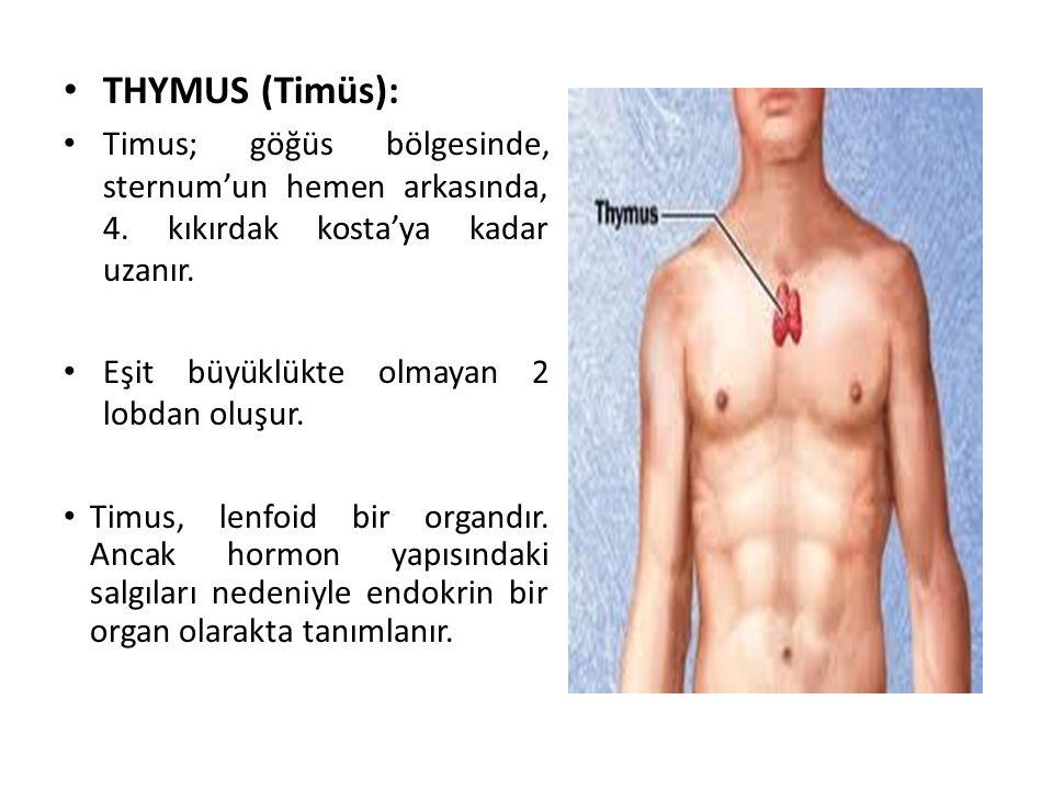 THYMUS (Timüs): Timus; göğüs bölgesinde, sternum'un hemen arkasında, 4. kıkırdak kosta'ya kadar uzanır. Eşit büyüklükte olmayan 2 lobdan oluşur. Timus