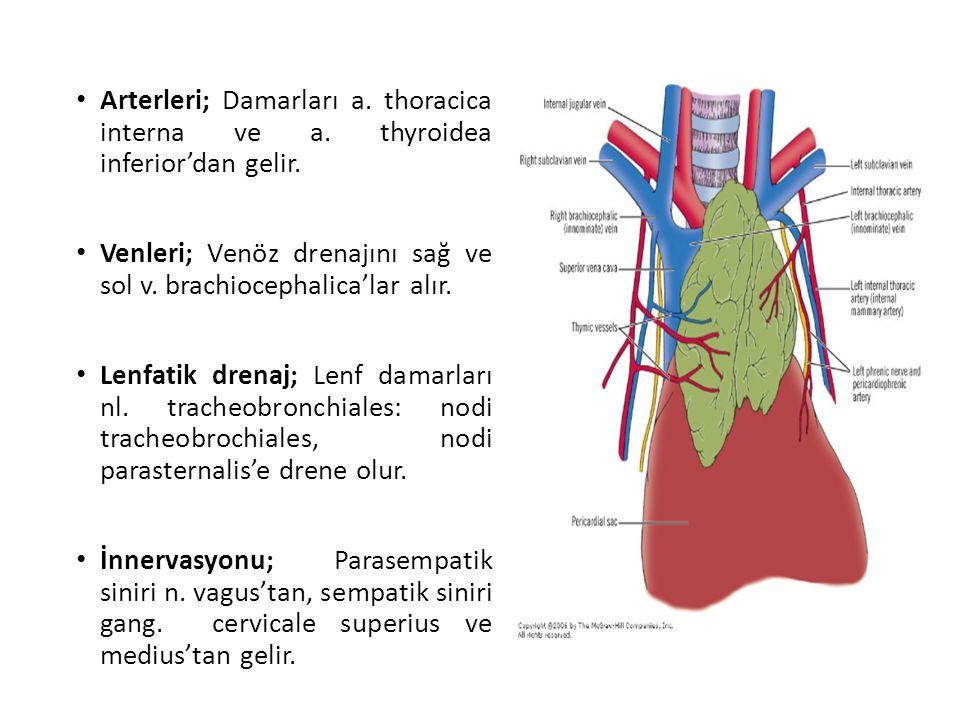 Arterleri; Damarları a. thoracica interna ve a. thyroidea inferior'dan gelir. Venleri; Venöz drenajını sağ ve sol v. brachiocephalica'lar alır. Lenfat