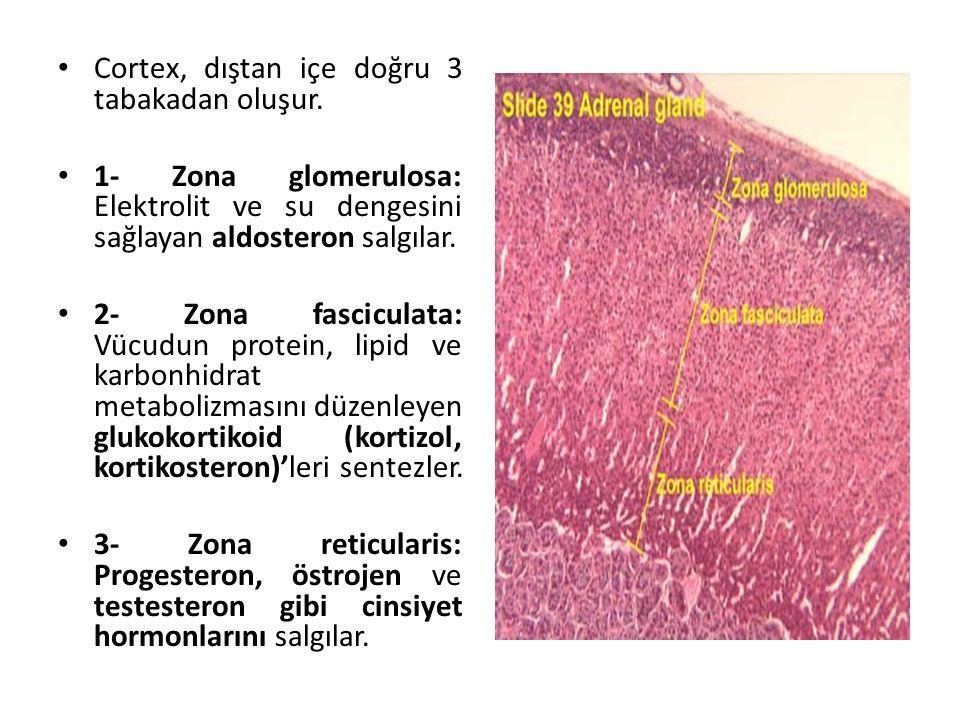 Cortex, dıştan içe doğru 3 tabakadan oluşur. 1- Zona glomerulosa: Elektrolit ve su dengesini sağlayan aldosteron salgılar. 2- Zona fasciculata: Vücudu