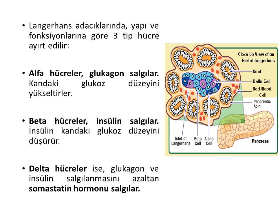 Langerhans adacıklarında, yapı ve fonksiyonlarına göre 3 tip hücre ayırt edilir: Alfa hücreler, glukagon salgılar. Kandaki glukoz düzeyini yükseltirle