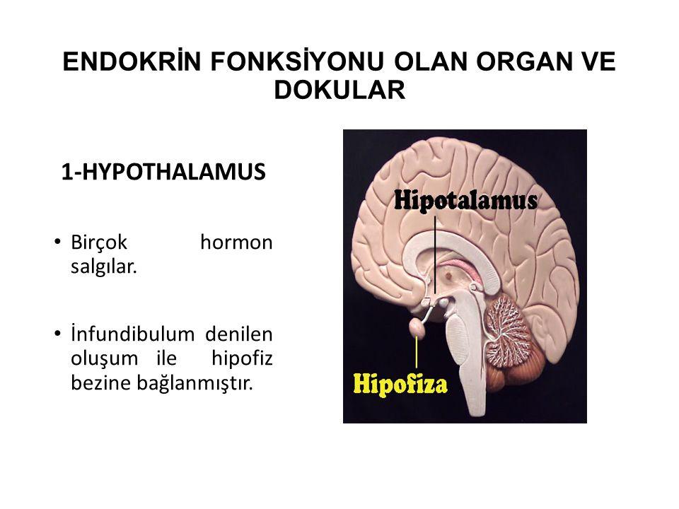 ENDOKRİN FONKSİYONU OLAN ORGAN VE DOKULAR 1-HYPOTHALAMUS Birçok hormon salgılar. İnfundibulum denilen oluşum ile hipofiz bezine bağlanmıştır.