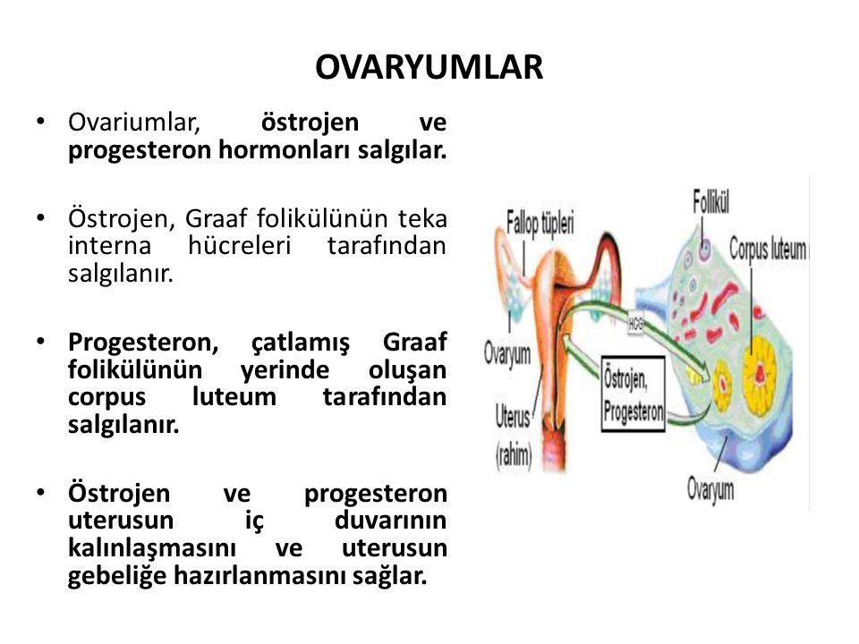 OVARYUMLAR Ovariumlar, östrojen ve progesteron hormonları salgılar. Östrojen, Graaf folikülünün teka interna hücreleri tarafından salgılanır. Progeste