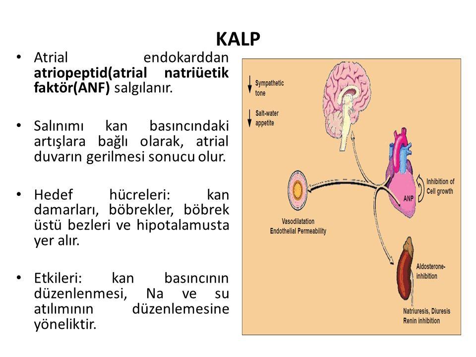 KALP Atrial endokarddan atriopeptid(atrial natriüetik faktör(ANF) salgılanır. Salınımı kan basıncındaki artışlara bağlı olarak, atrial duvarın gerilme