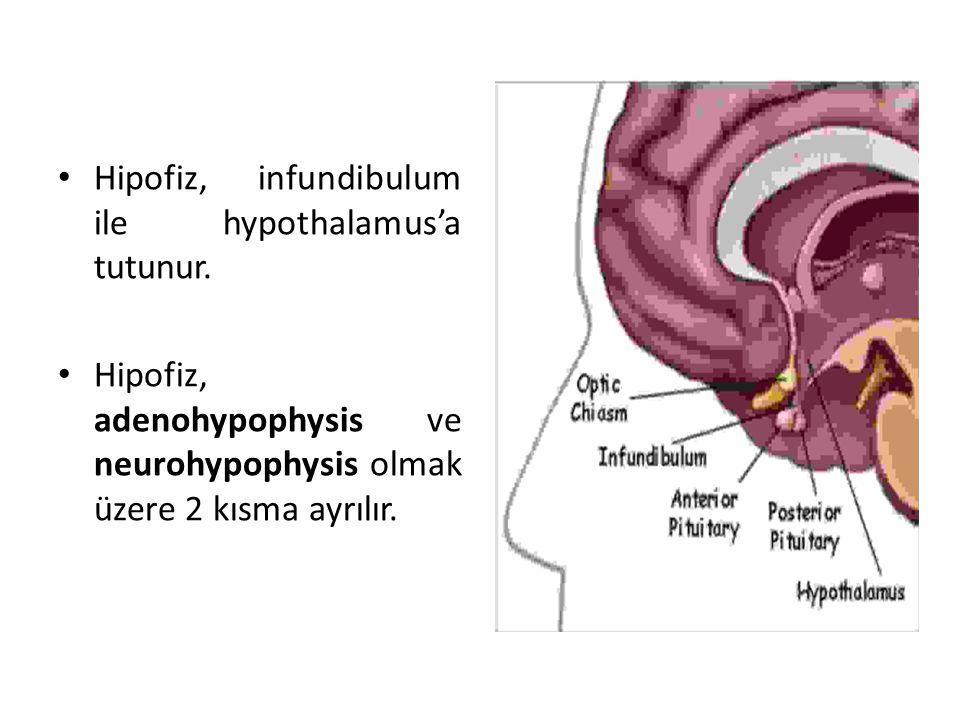 Hipofiz, infundibulum ile hypothalamus'a tutunur. Hipofiz, adenohypophysis ve neurohypophysis olmak üzere 2 kısma ayrılır.