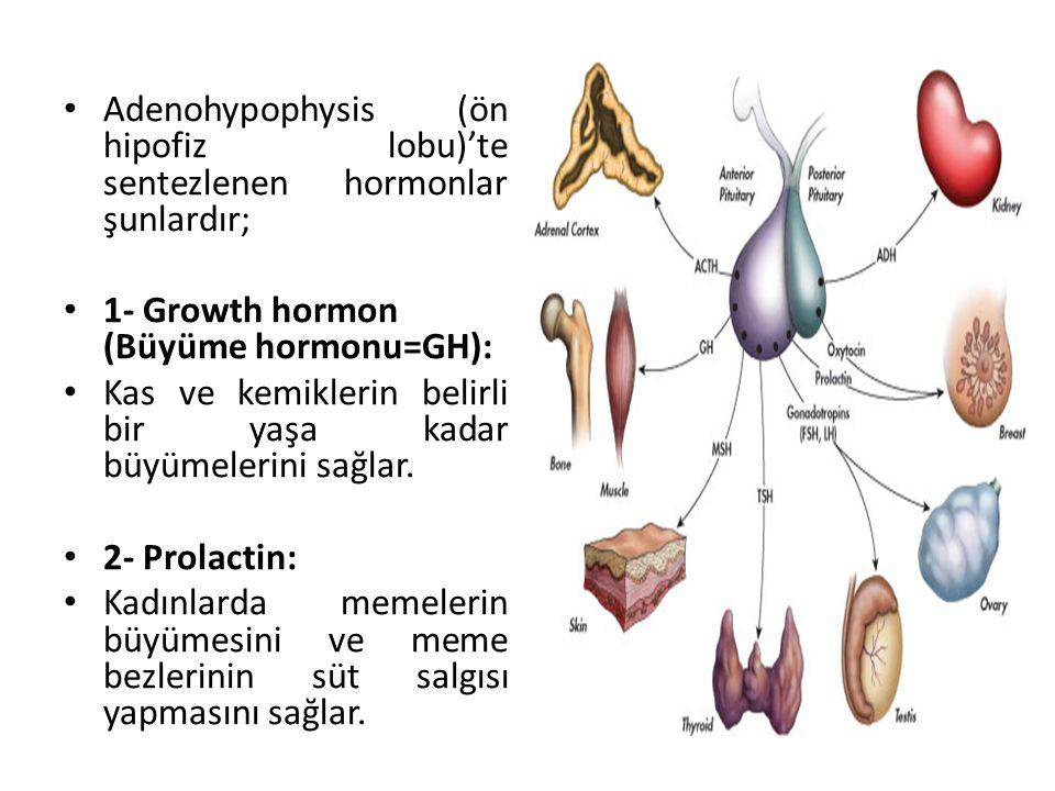Adenohypophysis (ön hipofiz lobu)'te sentezlenen hormonlar şunlardır; 1- Growth hormon (Büyüme hormonu=GH): Kas ve kemiklerin belirli bir yaşa kadar b