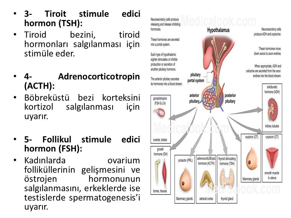 3- Tiroit stimule edici hormon (TSH): Tiroid bezini, tiroid hormonları salgılanması için stimüle eder. 4- Adrenocorticotropin (ACTH): Böbreküstü bezi