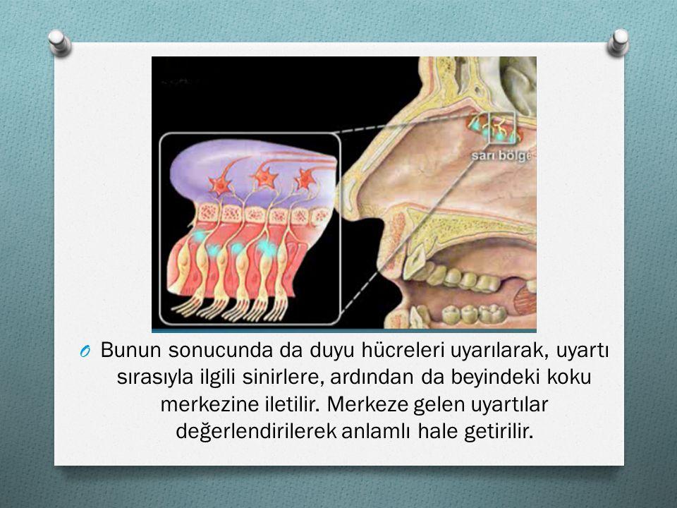 OBOBunun sonucunda da duyu hücreleri uyarılarak, uyartı sırasıyla ilgili sinirlere, ardından da beyindeki koku merkezine iletilir. Merkeze gelen uyart
