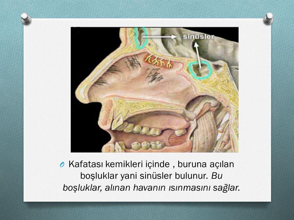 OKOKafatası kemikleri içinde, buruna açılan boşluklar yani sinüsler bulunur. Bu boşluklar, alınan havanın ısınmasını sağlar.