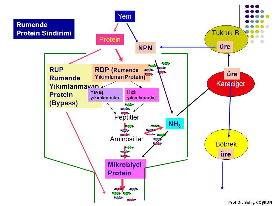 Protein Yem NPN RUP Rumende Yıkımlanmayan Protein (Bypass) RDP ( Rumende Yıkımlanan Protein) Peptitler Aminositler Mikrobiyel Protein NH 3 Karaciğer üre Tükrük B.