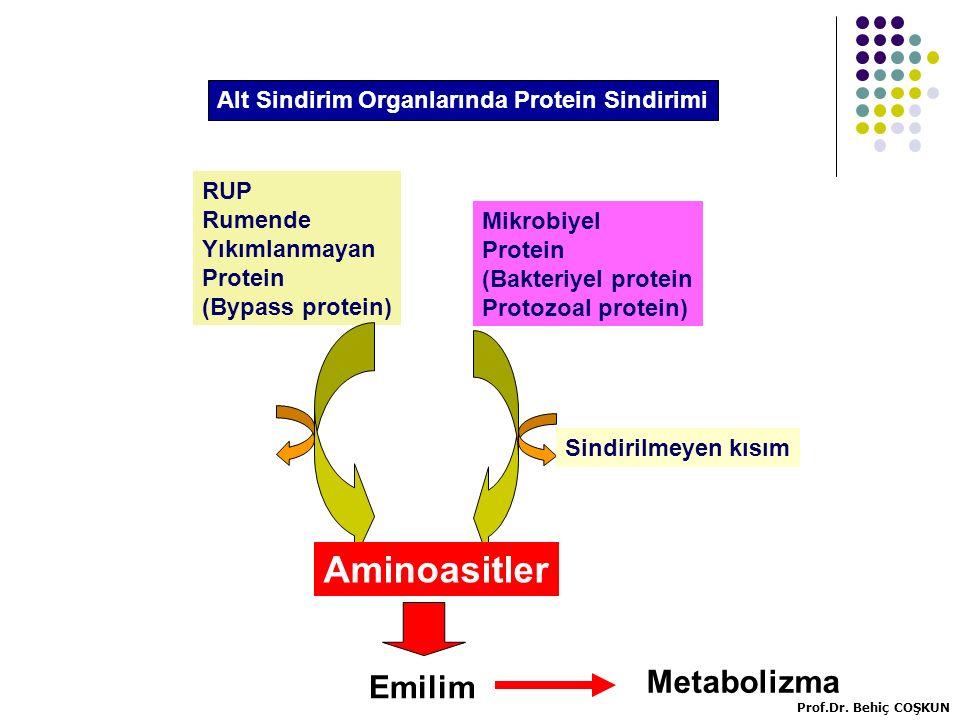 RUP Rumende Yıkımlanmayan Protein (Bypass protein) Mikrobiyel Protein (Bakteriyel protein Protozoal protein) Aminoasitler Emilim Sindirilmeyen kısım Metabolizma Alt Sindirim Organlarında Protein Sindirimi Prof.Dr.