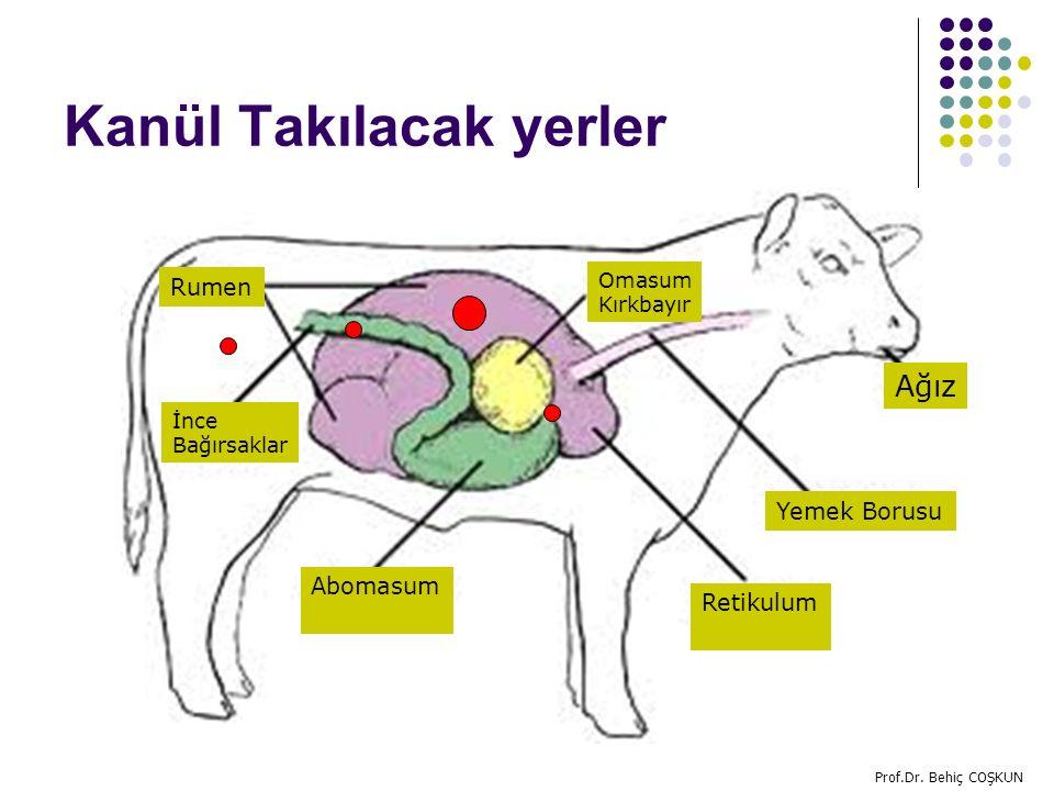 Kanül Takılacak yerler Ağız İnce Bağırsaklar Yemek Borusu Omasum Kırkbayır Retikulum Abomasum Rumen Prof.Dr.