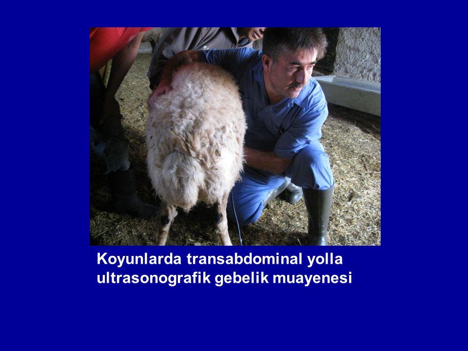 Koyunlarda transabdominal yolla ultrasonografik gebelik muayenesi