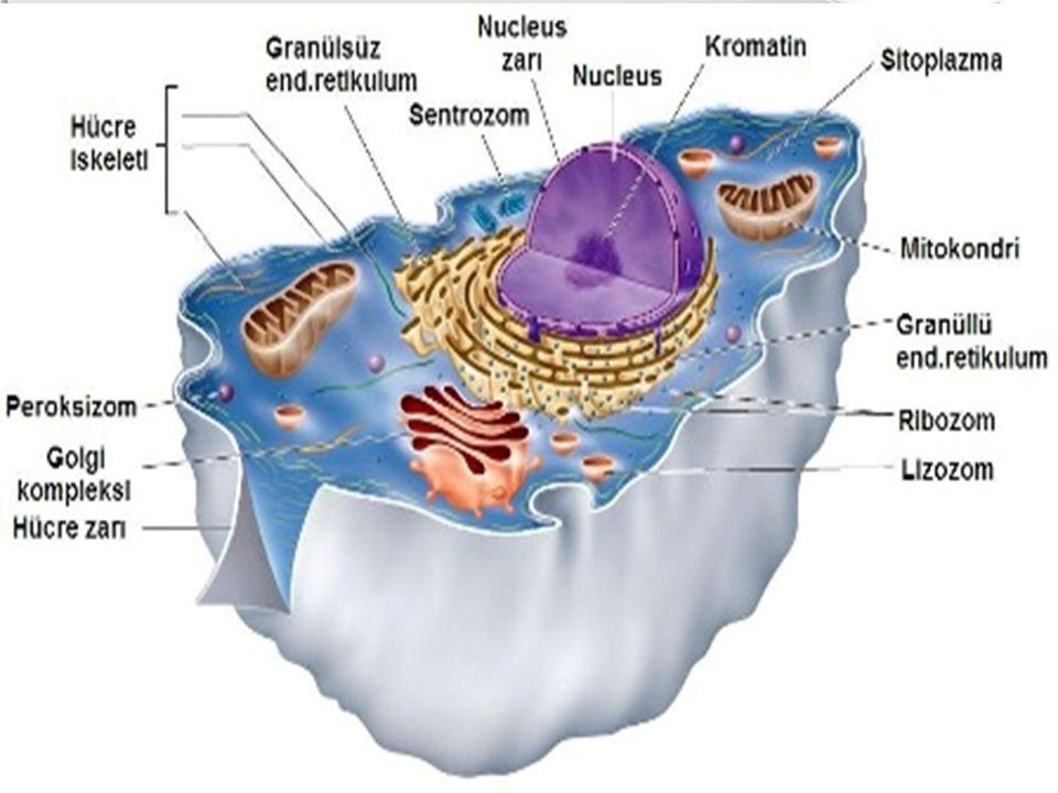 İnsan vücudundaki hücreleri başlıca 3 grupta inceleyebiliriz Birinci grup:  Çoğalmayan hücrelerdir.