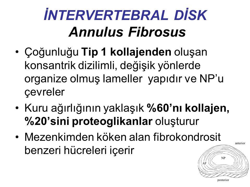 İNTERVERTEBRAL DİSK Annulus Fibrosus Çoğunluğu Tip 1 kollajenden oluşan konsantrik dizilimli, değişik yönlerde organize olmuş lameller yapıdır ve NP'u çevreler Kuru ağırlığının yaklaşık %60'nı kollajen, %20'sini proteoglikanlar oluşturur Mezenkimden köken alan fibrokondrosit benzeri hücreleri içerir