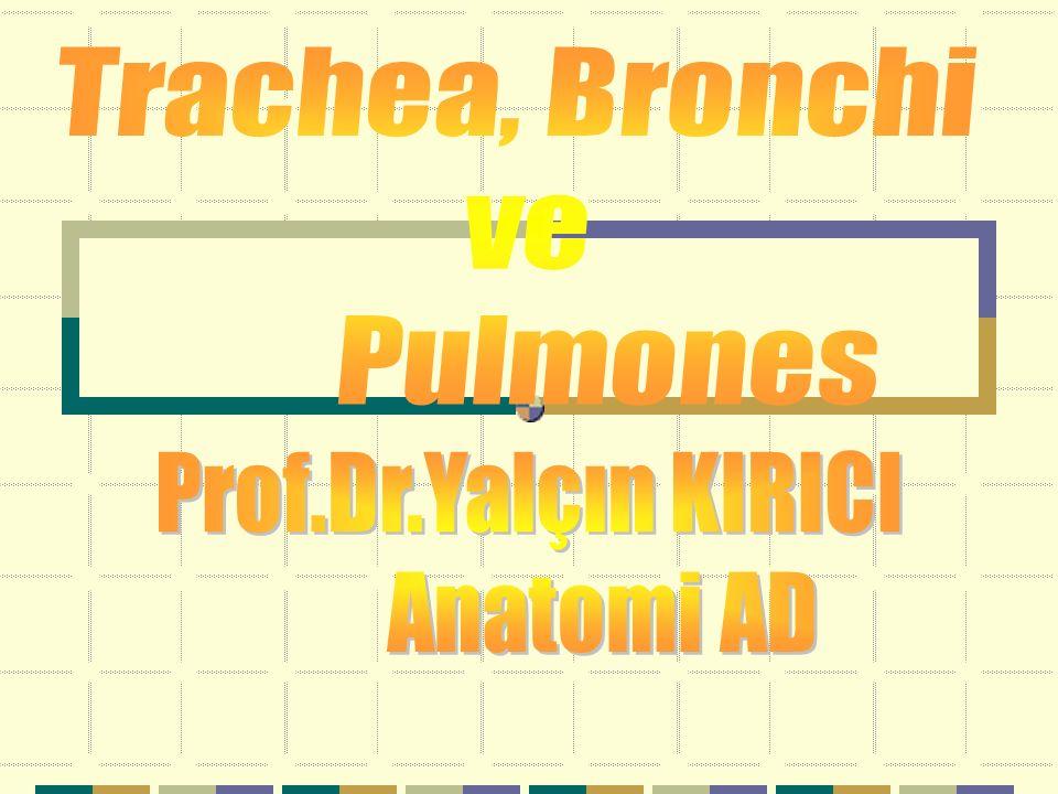 Arbor bronchialis -Bronchiolus lobularis -Bronchiolus terminalis -Bronchiolus respiratorius -Ductus alveolaris -Saccus alveolaris -Alveolus pulmonis Son dört yapıya bir acinus denir.