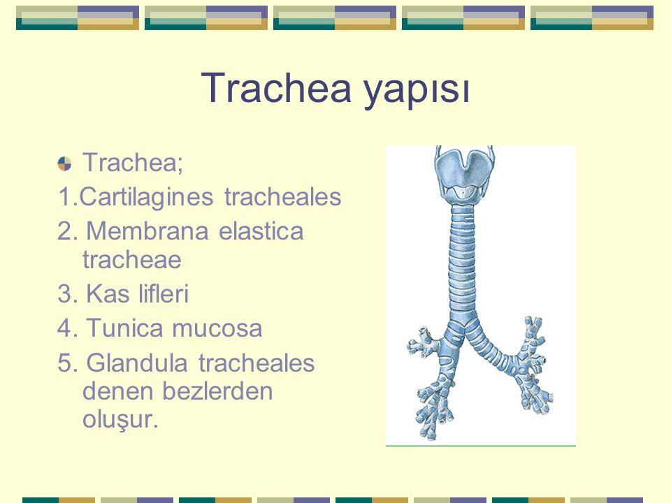 Trachea yapısı Trachea; 1.Cartilagines tracheales 2. Membrana elastica tracheae 3. Kas lifleri 4. Tunica mucosa 5. Glandula tracheales denen bezlerden
