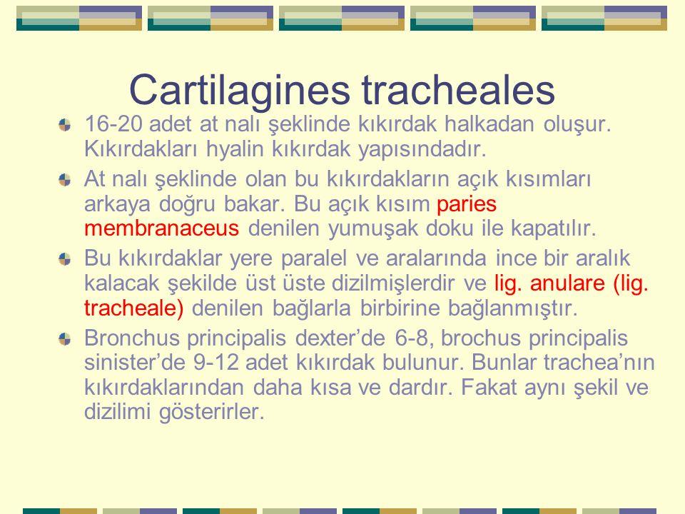 Cartilagines tracheales 16-20 adet at nalı şeklinde kıkırdak halkadan oluşur. Kıkırdakları hyalin kıkırdak yapısındadır. At nalı şeklinde olan bu kıkı