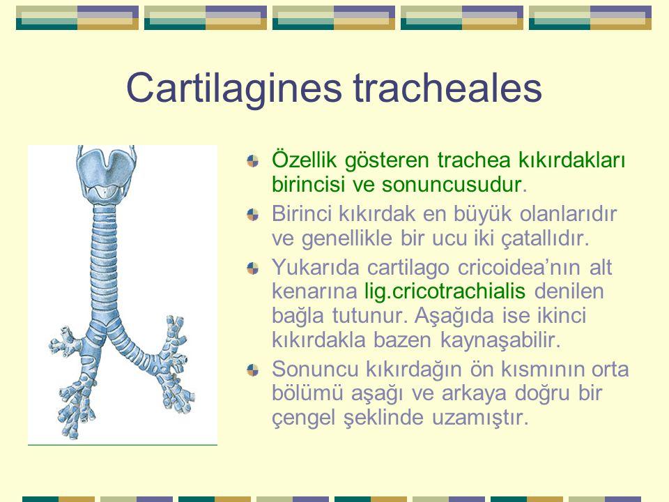 Cartilagines tracheales Özellik gösteren trachea kıkırdakları birincisi ve sonuncusudur. Birinci kıkırdak en büyük olanlarıdır ve genellikle bir ucu i