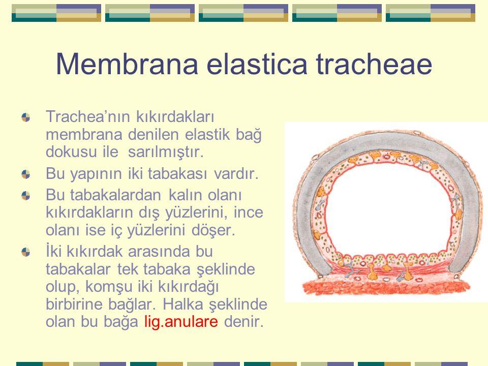Membrana elastica tracheae Trachea'nın kıkırdakları membrana denilen elastik bağ dokusu ile sarılmıştır. Bu yapının iki tabakası vardır. Bu tabakalard