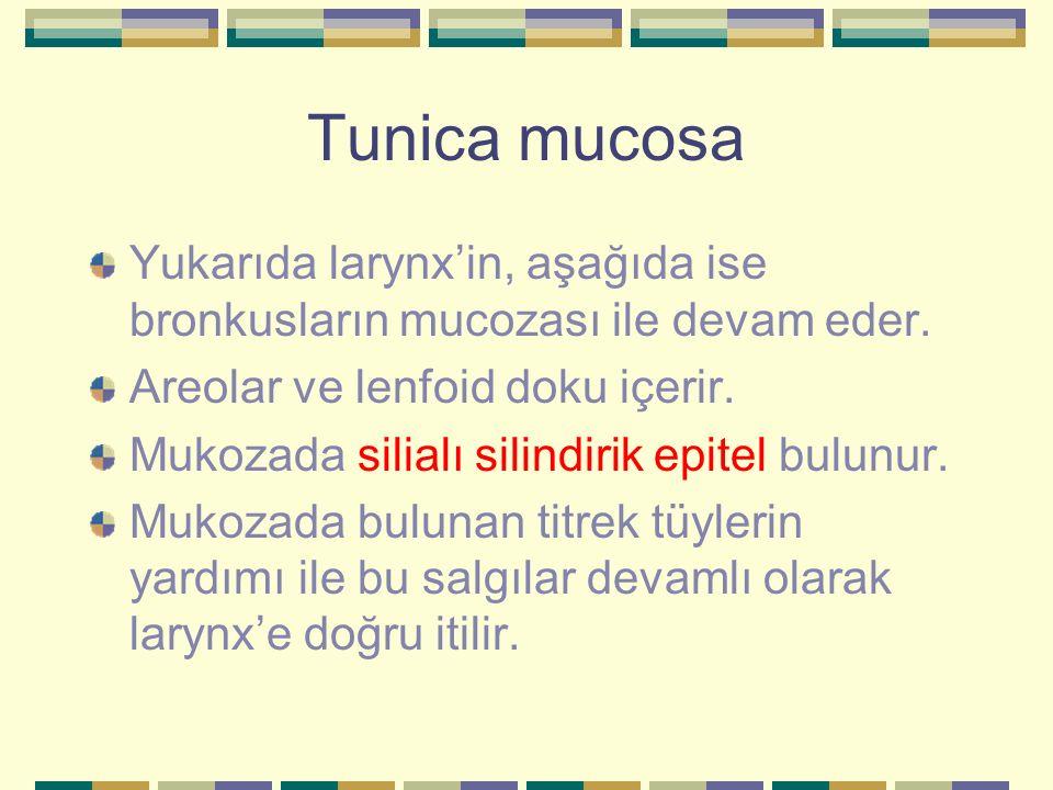 Tunica mucosa Yukarıda larynx'in, aşağıda ise bronkusların mucozası ile devam eder. Areolar ve lenfoid doku içerir. Mukozada silialı silindirik epitel