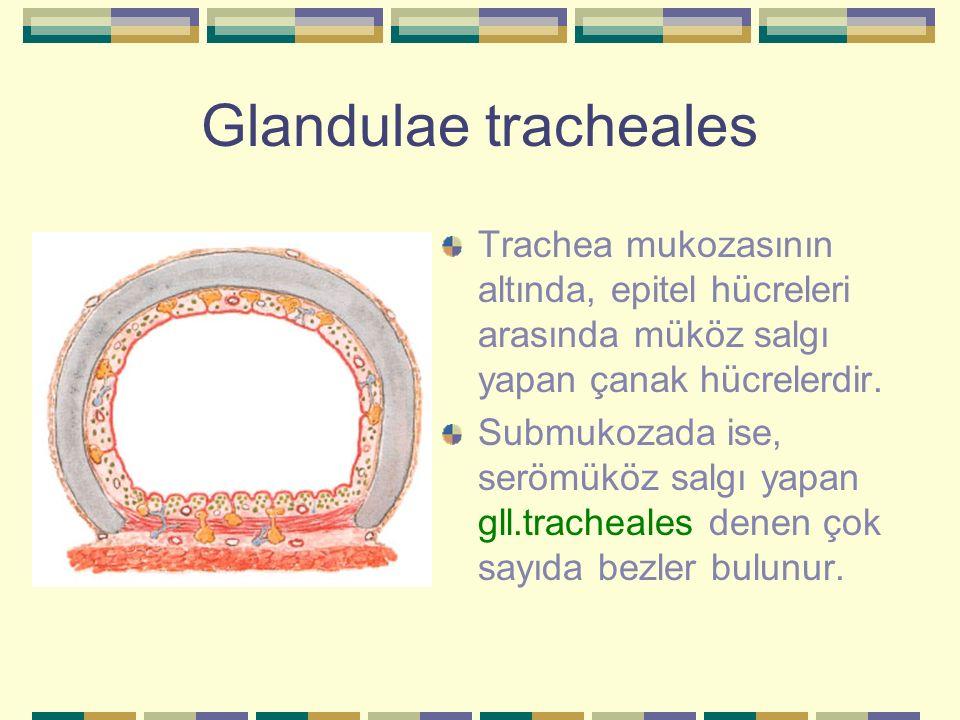 Glandulae tracheales Trachea mukozasının altında, epitel hücreleri arasında müköz salgı yapan çanak hücrelerdir. Submukozada ise, serömüköz salgı yapa