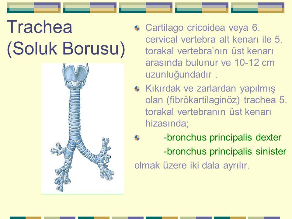 Trachea (Soluk Borusu) Cartilago cricoidea veya 6. cervical vertebra alt kenarı ile 5. torakal vertebra'nın üst kenarı arasında bulunur ve 10-12 cm uz