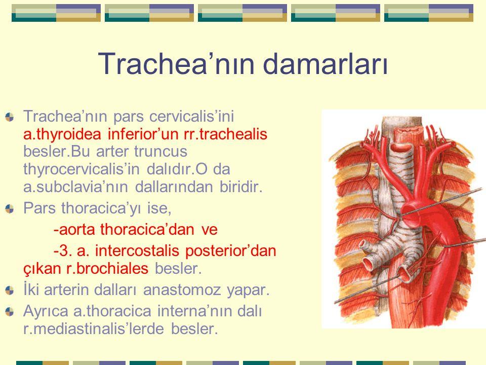 Trachea'nın damarları Trachea'nın pars cervicalis'ini a.thyroidea inferior'un rr.trachealis besler.Bu arter truncus thyrocervicalis'in dalıdır.O da a.