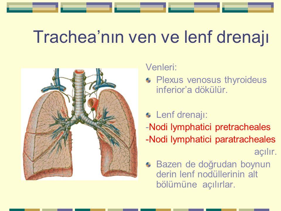 Trachea'nın ven ve lenf drenajı Venleri: Plexus venosus thyroideus inferior'a dökülür. Lenf drenajı: -Nodi lymphatici pretracheales -Nodi lymphatici p