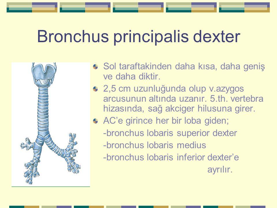 Bronchus principalis dexter Sol taraftakinden daha kısa, daha geniş ve daha diktir. 2,5 cm uzunluğunda olup v.azygos arcusunun altında uzanır. 5.th. v