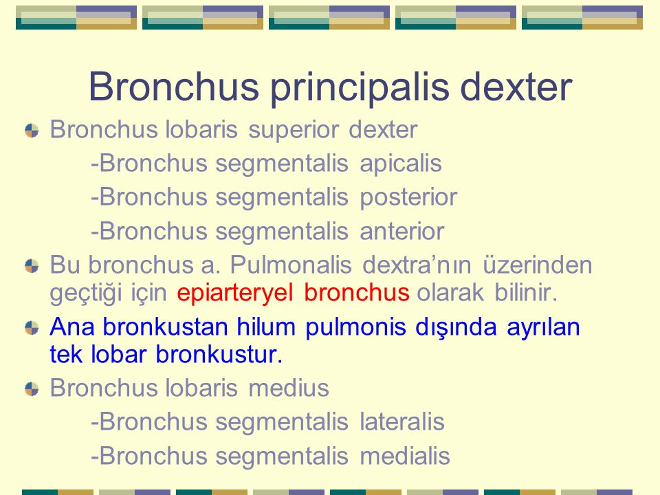 Bronchus principalis dexter Bronchus lobaris superior dexter -Bronchus segmentalis apicalis -Bronchus segmentalis posterior -Bronchus segmentalis ante
