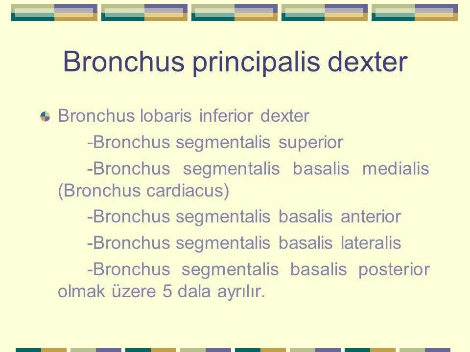 Bronchus principalis dexter Bronchus lobaris inferior dexter -Bronchus segmentalis superior -Bronchus segmentalis basalis medialis (Bronchus cardiacus