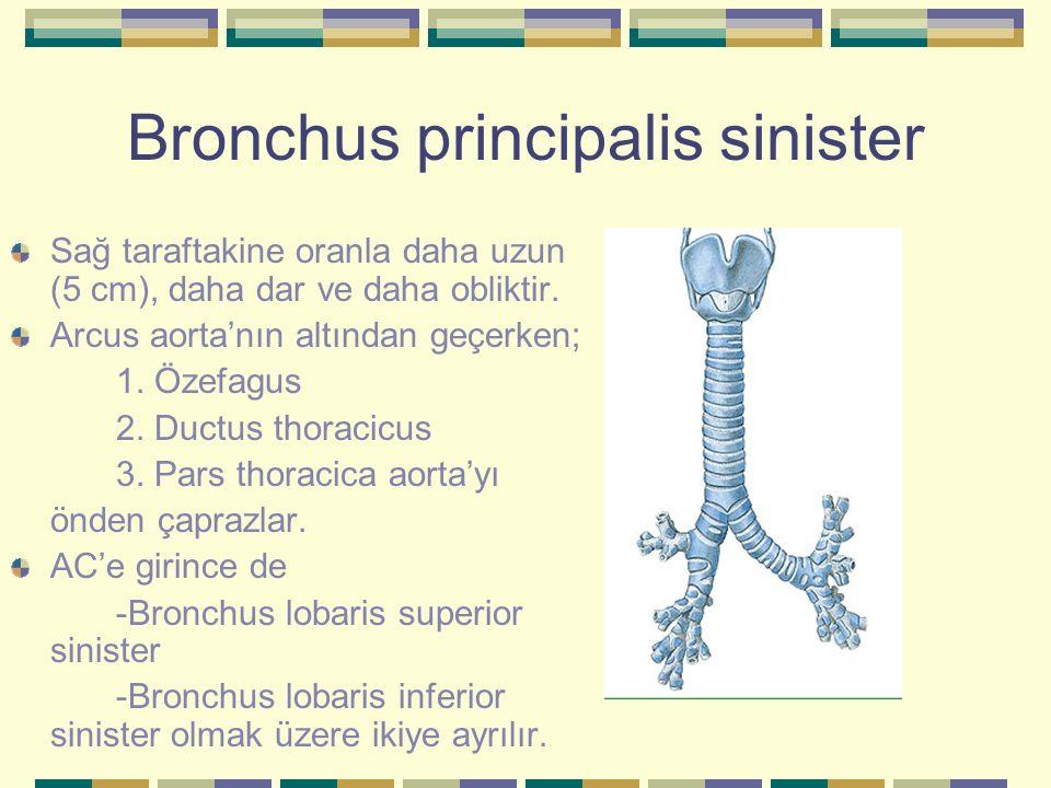 Bronchus principalis sinister Sağ taraftakine oranla daha uzun (5 cm), daha dar ve daha obliktir. Arcus aorta'nın altından geçerken; 1. Özefagus 2. Du