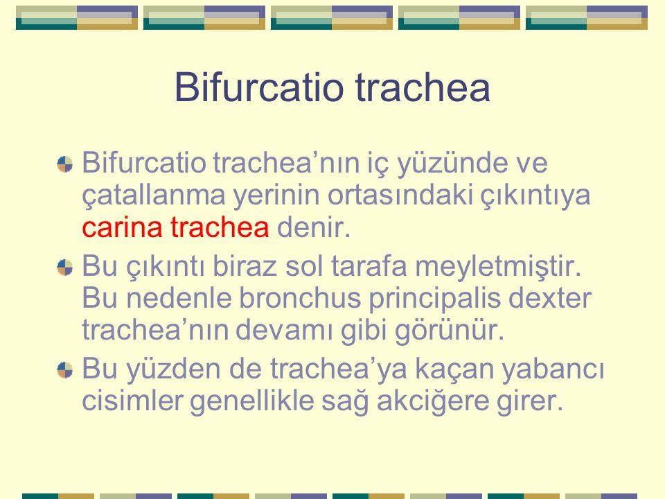 Bifurcatio trachea Bifurcatio trachea'nın iç yüzünde ve çatallanma yerinin ortasındaki çıkıntıya carina trachea denir. Bu çıkıntı biraz sol tarafa mey