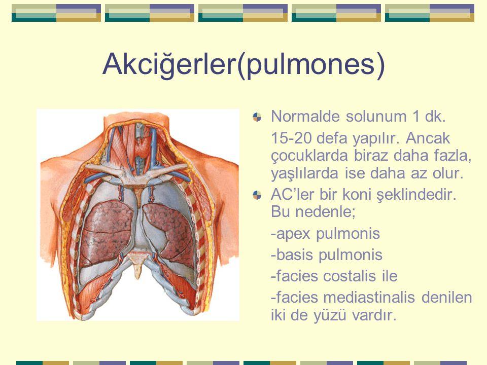 Akciğerler(pulmones) Normalde solunum 1 dk. 15-20 defa yapılır. Ancak çocuklarda biraz daha fazla, yaşlılarda ise daha az olur. AC'ler bir koni şeklin