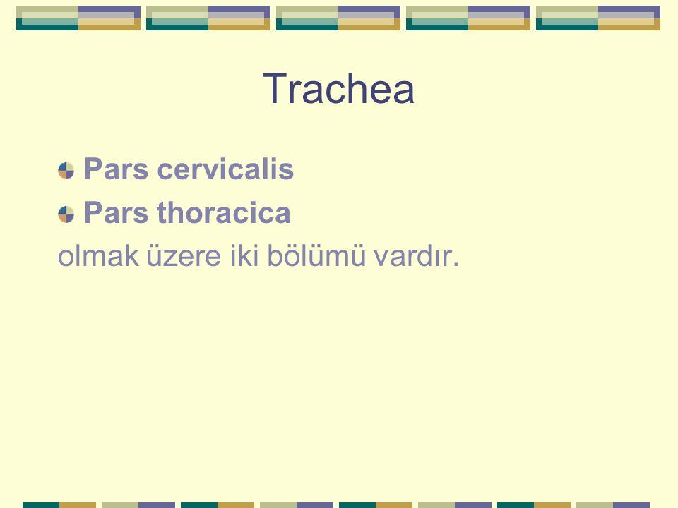 Pars cervicalis'in komşulukları Ön tarafta Yüzeyelden derine doğru; -Fascia cervicalis'in lamina superficialis'i -Isthmus glandula thyroidea -Thymus bezi kalıntıları -Fascia colli'nin lamina pretrachealis'i -m.sternohyoideus -m.sternothyroideus -Vv.thyroidea inferior -Arcus venosus jugularis