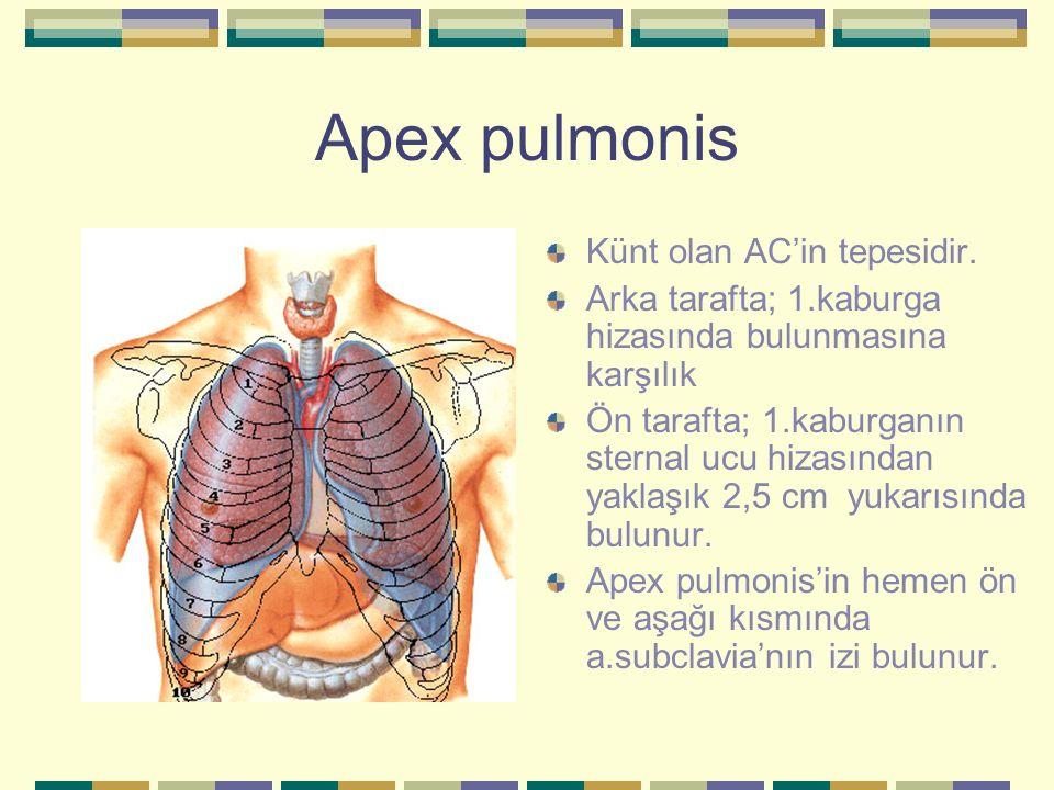 Apex pulmonis Künt olan AC'in tepesidir. Arka tarafta; 1.kaburga hizasında bulunmasına karşılık Ön tarafta; 1.kaburganın sternal ucu hizasından yaklaş